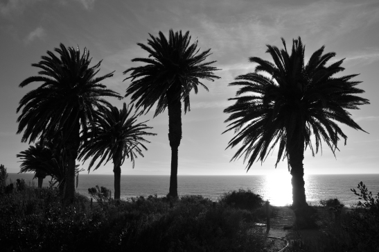 Palm Trees - Rancho Palos Verdes, California