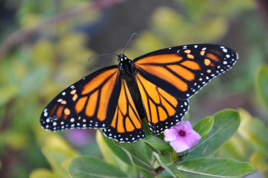 Monarch Butterfly - Long Beach, California