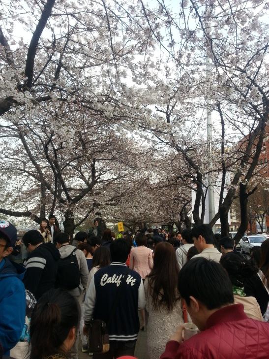 Yeoido, Seoul - Cherry blossoms galore