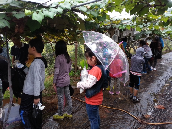 Students picking grapes in the rain