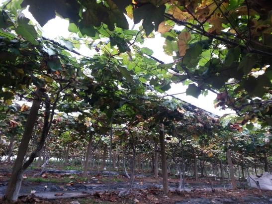 Daegot Town Vineyard