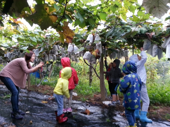 Kindergartedn kids picking grapes
