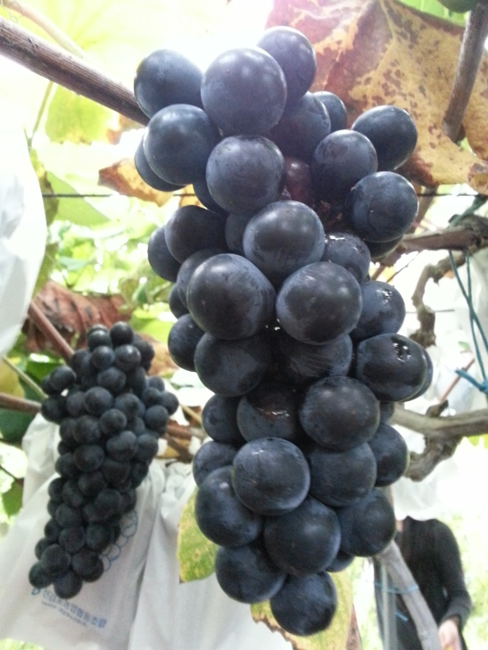 "The ""famous"" Gimpo Grapes"