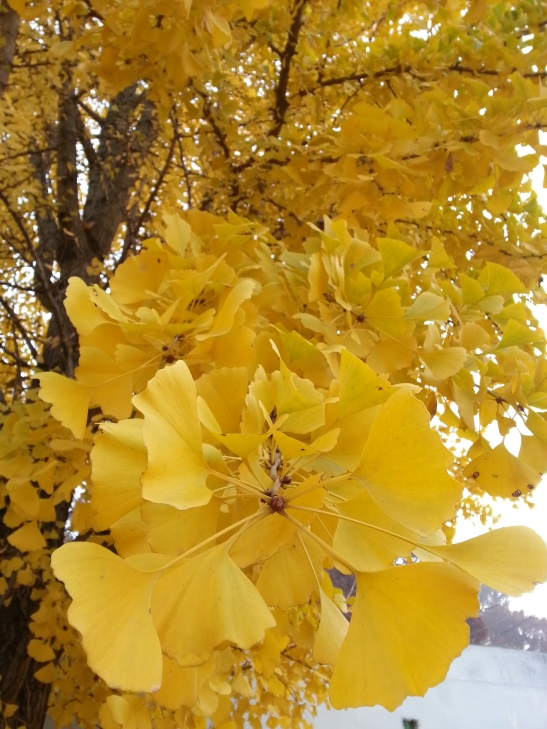 (2) Yellow Leaves Photo
