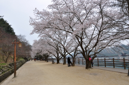 (16) Andong Riverwalk with cherry blossoms - Andong, South Korea